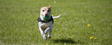 Prevenir artrosis en los perros