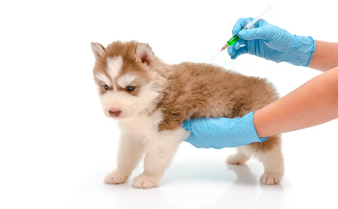 A qu edad es apropiado vacunar a un cachorro vacunar al cachorro - Cuando se puede banar a un cachorro ...