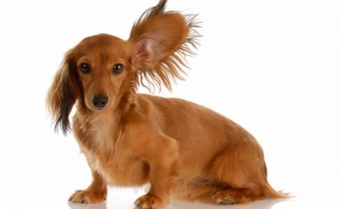 Enfermedades de oído en perros