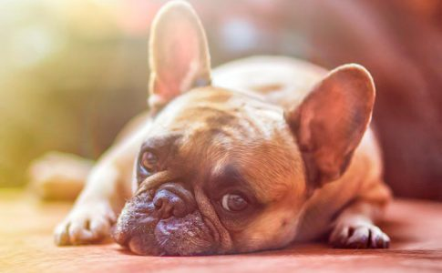 ¿Qué pasa si un perro adulto come pienso de cachorro?