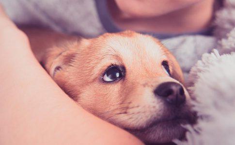 ¿Cómo tratar el embarazo psicológico en los perros?