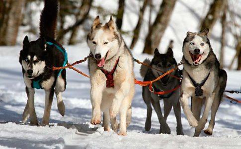 En qué consiste el entrenamiento mushing para perros
