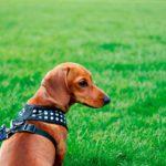 Uso del collar y del arnés para el perro