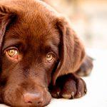 Tratamiento para perros con ansiedad por separación