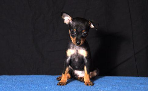 Las orejas levantadas son parte del lenguaje corporal del perro