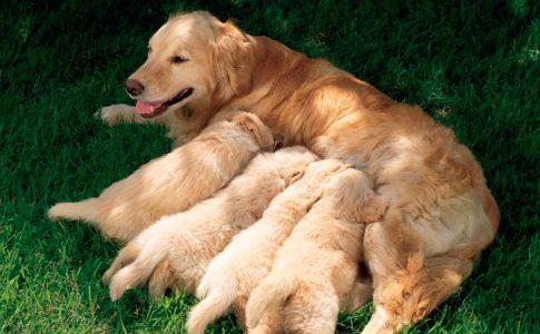 Temperatura de una perra antes del parto