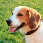 ¿Cómo desparasitar a un perro con ácaros en las orejas?