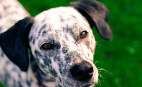 Tratamiento para perros con hongos en las orejas