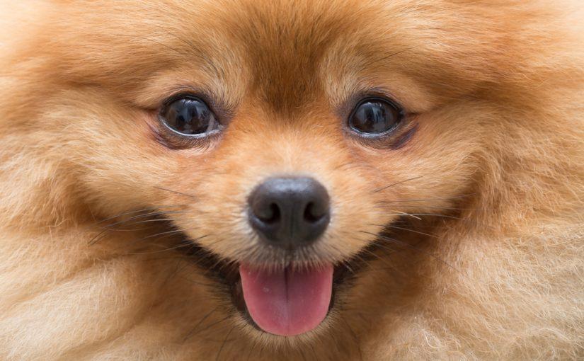 Cuáles Son Los Perros Pequeños Más Fáciles De Educar Razas De Perro