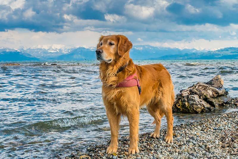 Qué Razas De Perros Usan Los Ciegos Perros Guía Razas De Perros