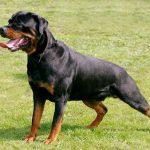Cuáles son las razas de perros más agresivas y peligrosas del mundo