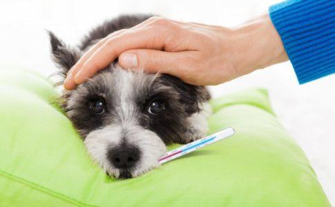 ¿Cómo reconocer el constipado en los perros?