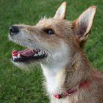 ¿Se puede entrenar a un perro mestizo?