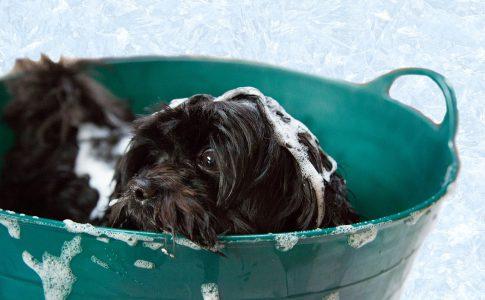 Bañar un perro sin vacunar
