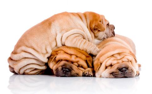 Raza de perro Shar Pei Chino