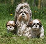 Shih Tzu adulto y cachorros de Shih Tzu