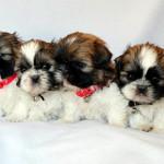 Cachorros Shih Tzu de 1 mes