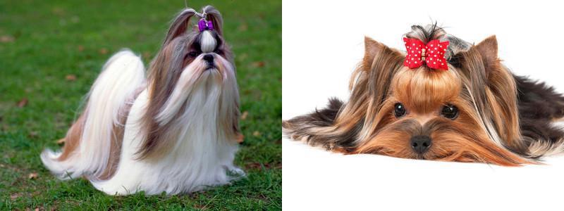 Shih Tzu Vs Yorkshire Terrier Diferencias Entre Shih Tzu Y
