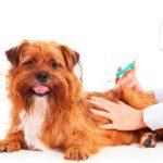 ¿En qué se parecen las vacunas de los humanos y los perros?