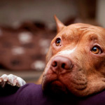 Perro salchicha vs Pit Bull Terrier Americano
