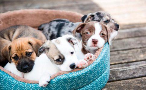 Lapso de tiempo que sucede entre la expulsión de cachorros en el parto del perro