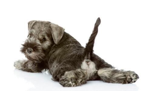 Cada cuánto vaciar los sacos anales de los perros