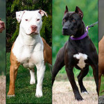 Pit Bull Terrier Americano tipos