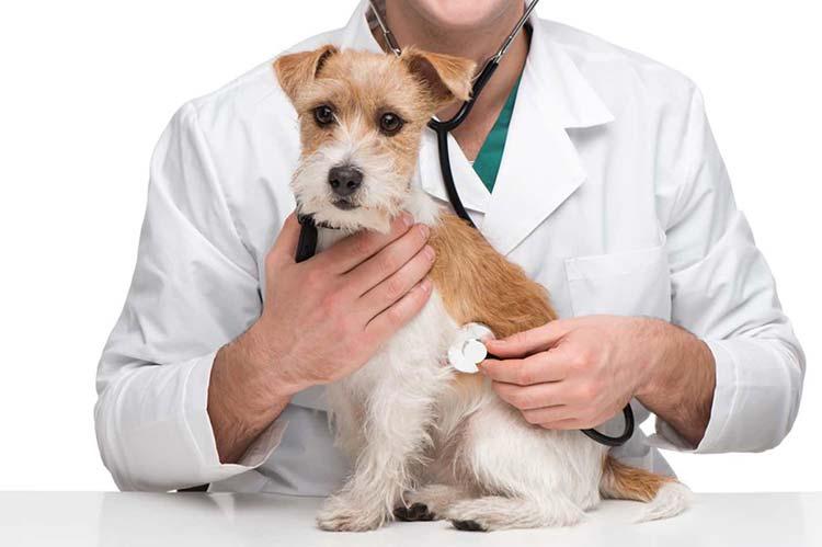Veterinario canino